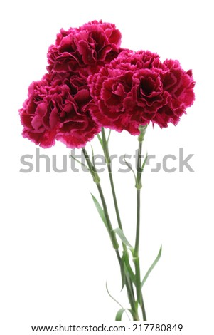 Purple carnations isolated on white background  - stock photo