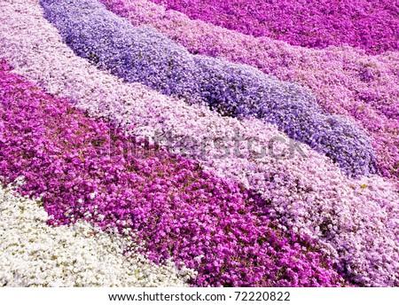 Purple carpet of flowers. A field of Moss phlox flowers. - stock photo