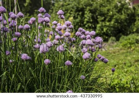 Purple chive - stock photo