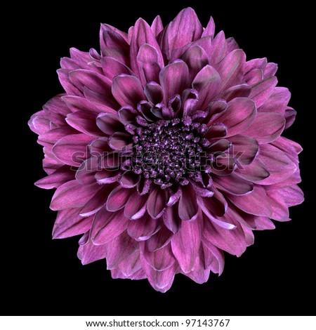 Purple Chrysanthemum Flower Isolated on Black Background - stock photo