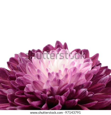 Purple Chrysanthemum Flower with White Center Isolated on White Background - stock photo