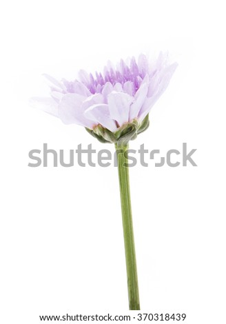 purple chrysanthemum flowers with water droplets isolated on white background