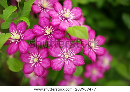 Purple clematis flowers with white finger stamens - stock photo