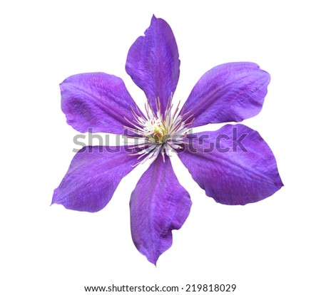 purple clematis isolated on white background  - stock photo