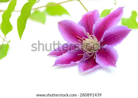purple clematis on white background