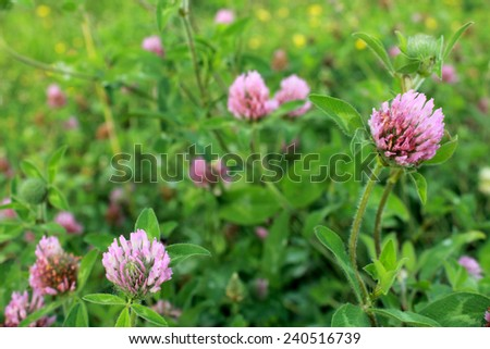 Purple Clover Flower, Trifolium, blooms in a meadow in the Midwestern United States of America. - stock photo