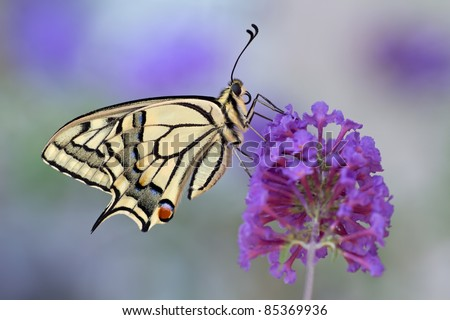 purple colour  and a butterfly - Papilio machaon - stock photo