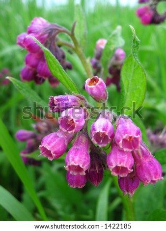 Purple comfrey flowers in a close view - stock photo