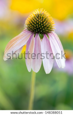 Purple cone flower against a pretty green and yellow background  - stock photo