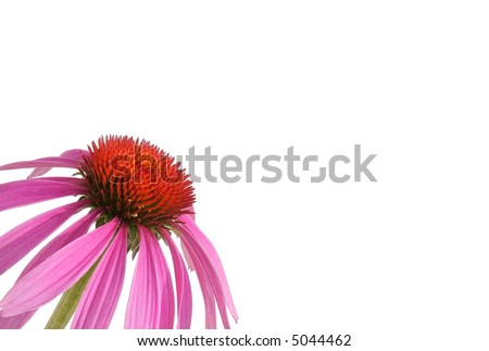 Purple cone flower, also known as echinacea. - stock photo