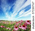 purple cone flower (echinacea) in field with blue sky - stock photo