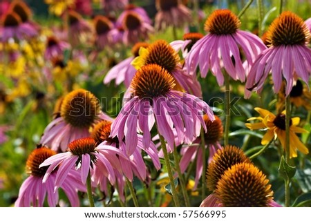 Purple cone flowers in a garden - stock photo