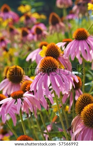 Purple cone flowers on a sunny day - stock photo
