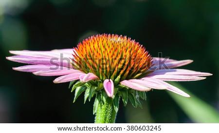 Purple coneflower( Echinacea purpurea) close up - stock photo