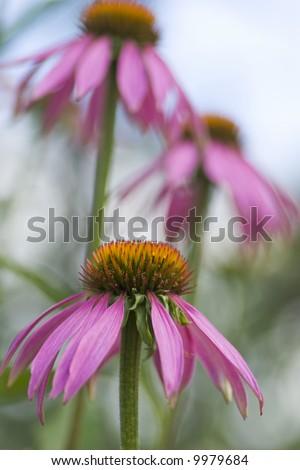 Purple coneflower, Echinacea purpurea, three flowers in the garden, can be used in alternate medicine - stock photo