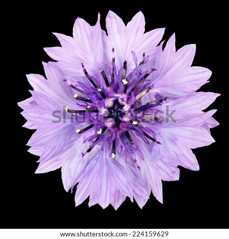 Purple Cornflower Flower Isolated on Black Background. Centaurea cyanus flowerhead wildflower on plain background - stock photo