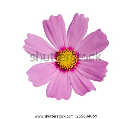 Purple cosmos flower isolated on white background. - stock photo