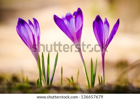 Purple crocus flower on the spring meadow