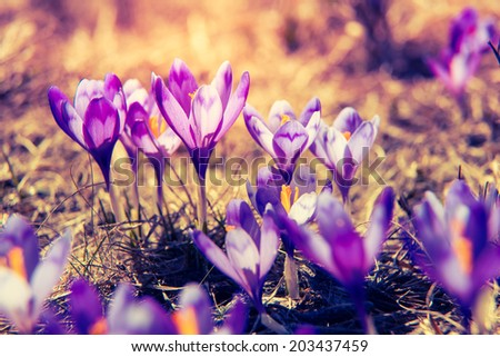 Purple crocus flower on the spring meadow. Carpathian, Ukraine, Europe. Beauty world. Retro filtered. Instagram toning effect. - stock photo