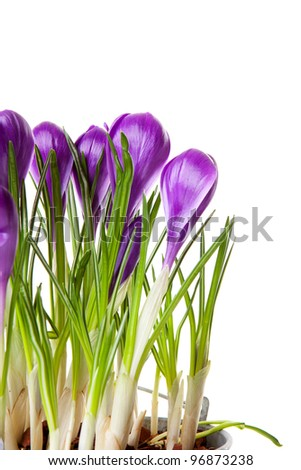Purple Crocus flowers in closeup over white background