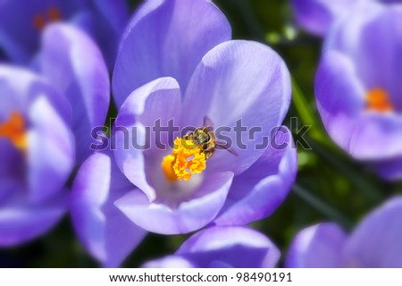 Purple crocus flowers in the spring time - stock photo