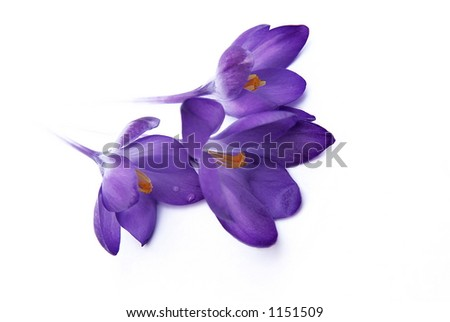 purple crocus on isolated white background