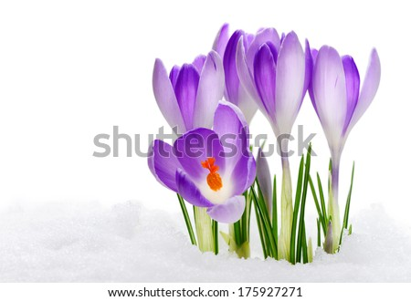 Purple Crocuses - stock photo