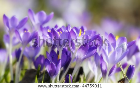 purple crocuses - stock photo