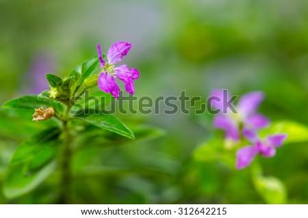 Purple Cuphea hyssopifolia or false heather or Mexican heather or Hawaiian heather or elfin herb flower - stock photo