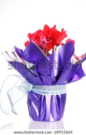 Purple cyclamen on white - stock photo