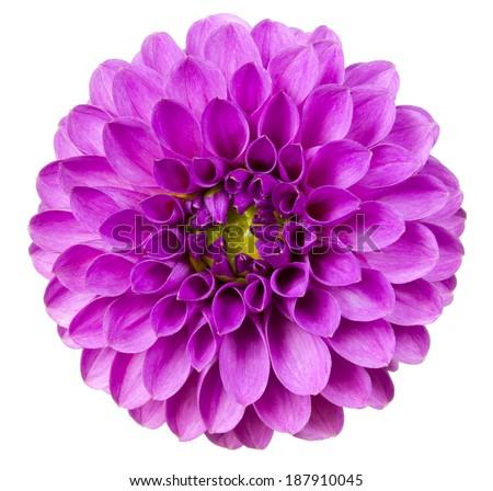 Purple dahlia. Deep focus. No dust. No pollen.  - stock photo