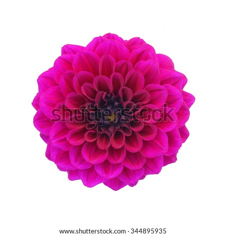 Purple dahlia isolated on white background - stock photo