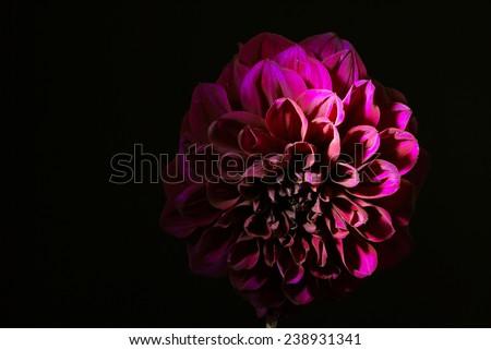 Purple dahlias flower on black background - stock photo