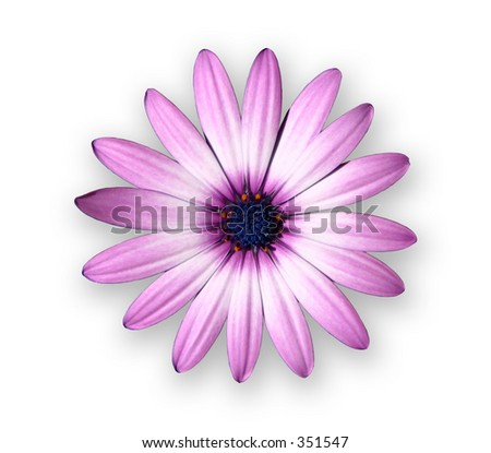 Purple Daisy floats on top of white background.