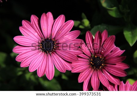 Purple daisy flower on nature background - stock photo