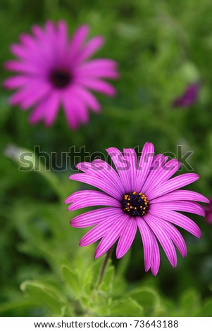 Purple daisy in the garden, over green background