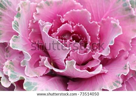 purple decorative cabbage - stock photo