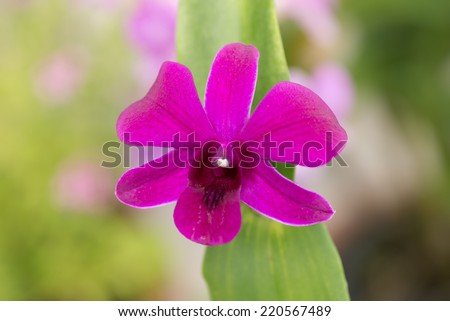 Purple dendrobium orchid with green leaves close up  - stock photo