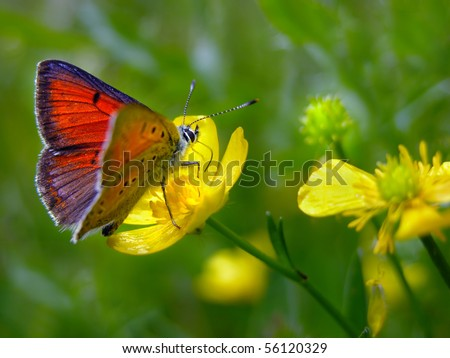 Purple-edged Copper butterfly (Lycaena hippothoe) on Creeping buttercup (Ranunculus repens) - stock photo