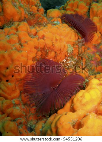 Purple Featherduster worms feed from a sponge reef in Dominica - stock photo