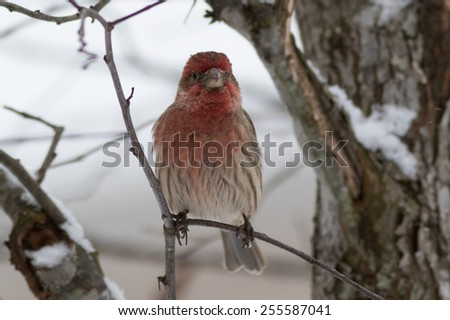 Purple Finch perched on tree during snow fall - stock photo