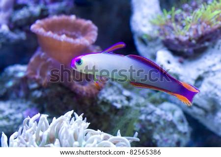 Purple Firefish in reef aquarium. - stock photo