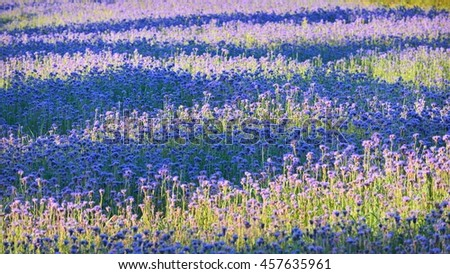Purple flower field - stock photo