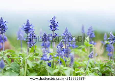 Purple flower field background - stock photo