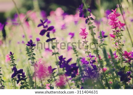 Purple flower field background, natural soft light - stock photo