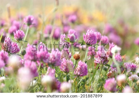 Purple flower - Flowering red clover - stock photo