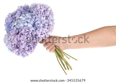 Purple flower hydrangea in hand on white background. Clipping path inside - stock photo