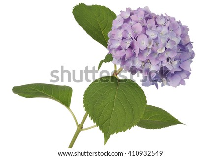 Purple flower hydrangea on white background. Clipping path inside