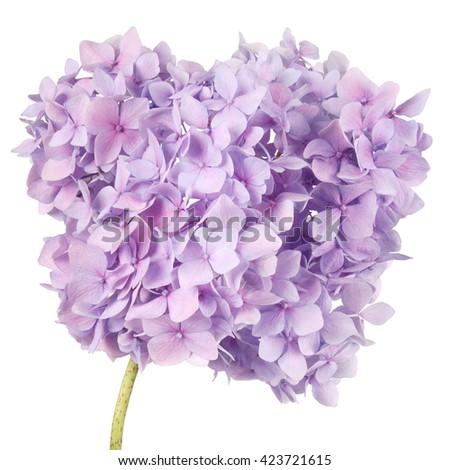 Purple flower hydrangea  on white background. Clipping path inside - stock photo