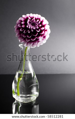 purple flower in vase on black background - stock photo